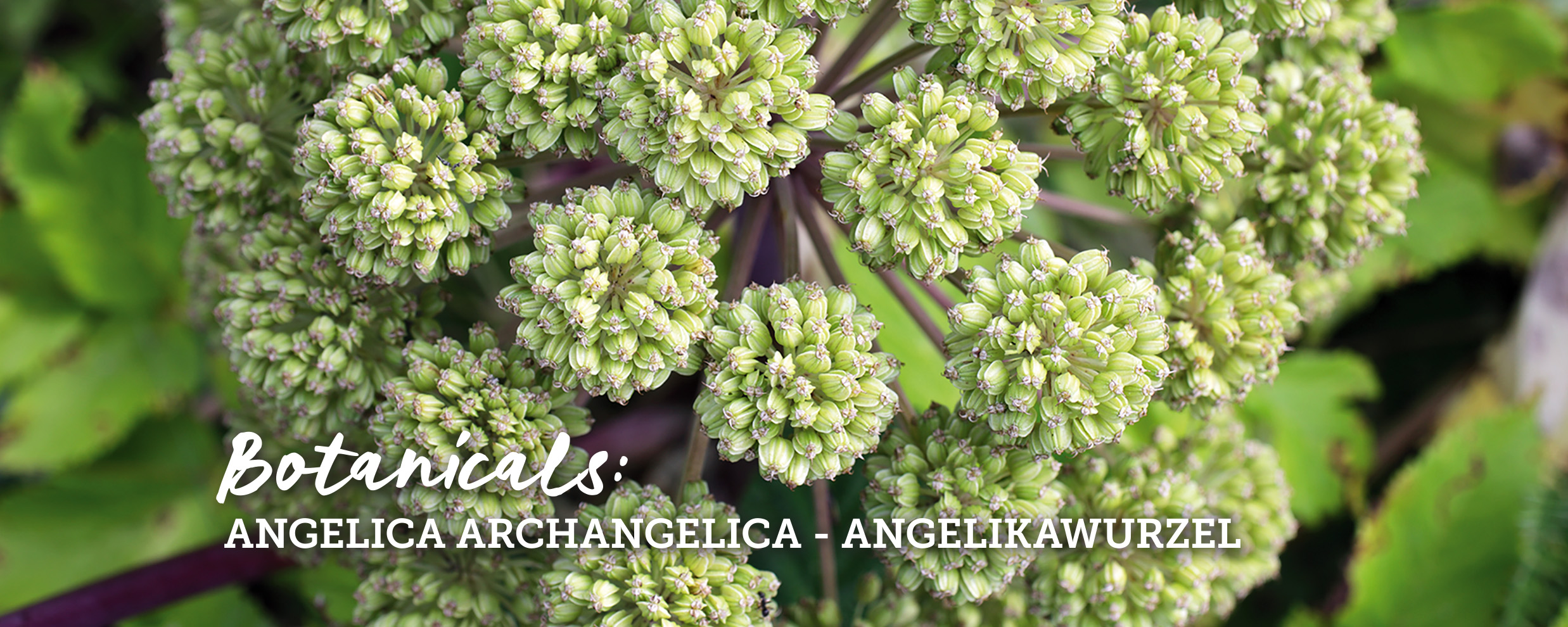 botanicals-angelikawurzel