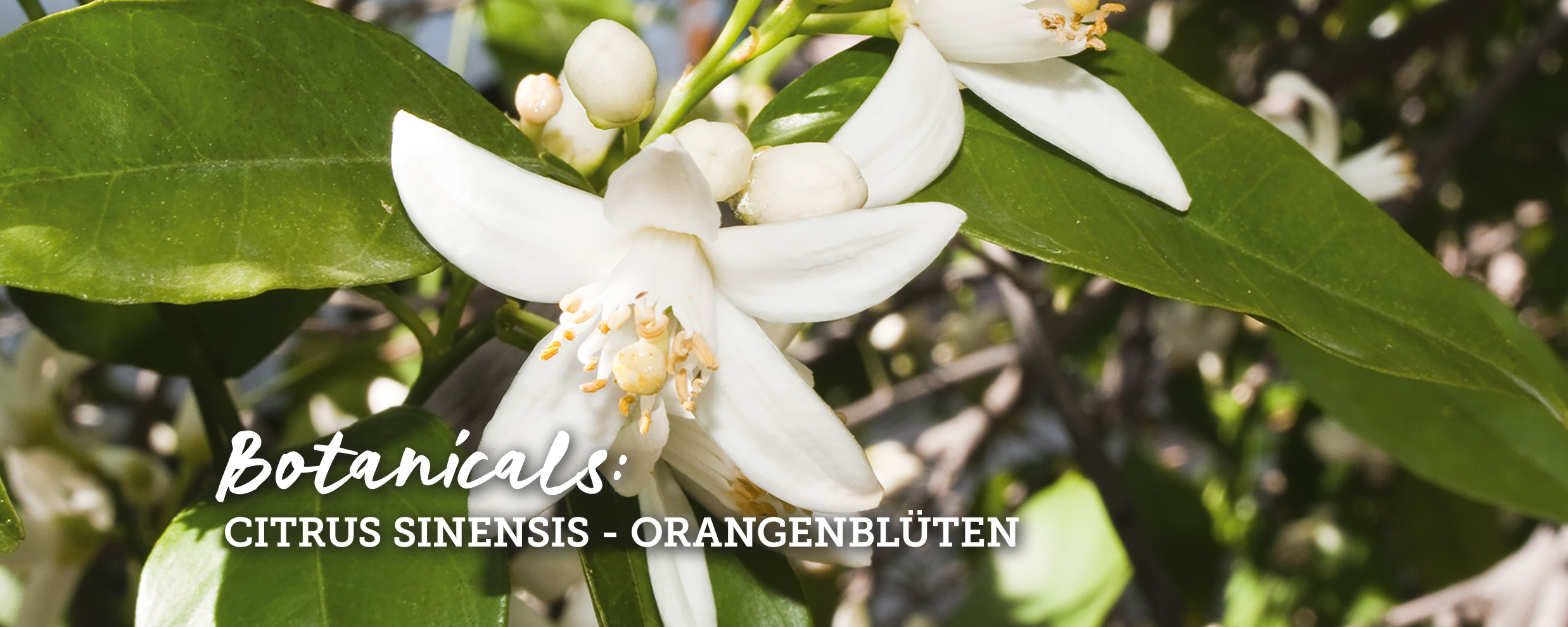 botanicals-orangenblueten